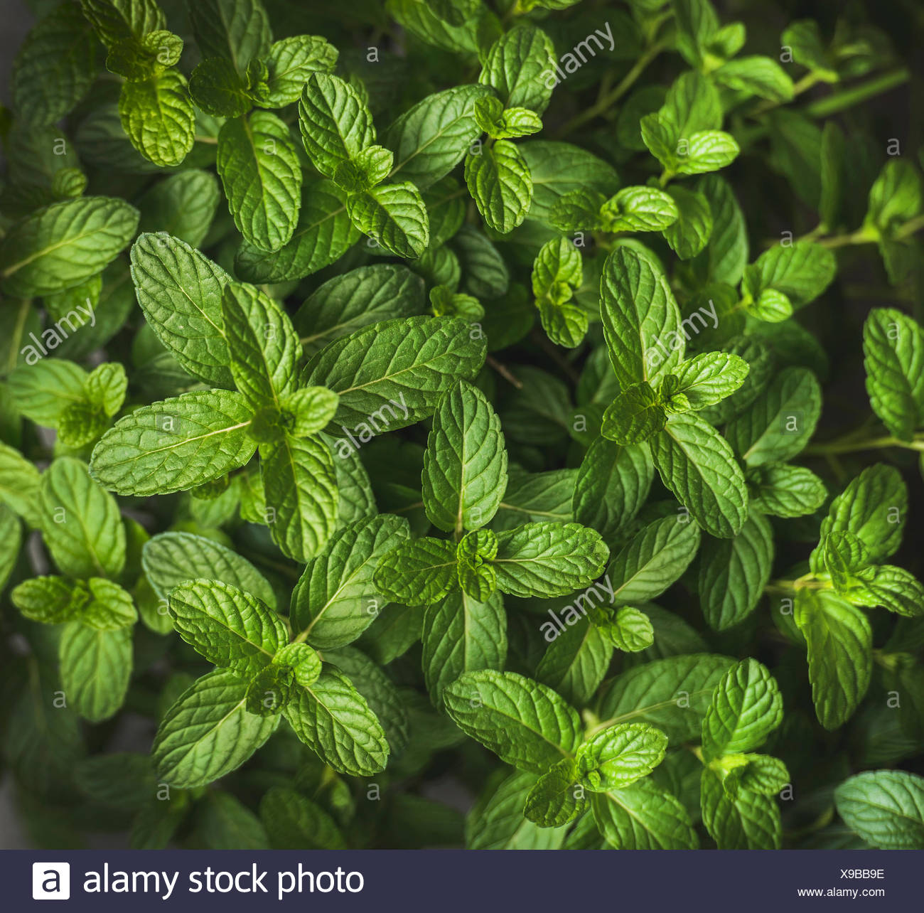 Fresh Green Pepper Mint Leaves Texture Background And Wallpaper