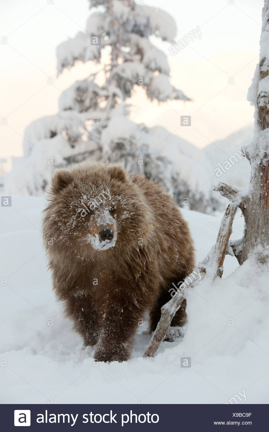 CAPTIVE: Female Kodiak Brown bear cub walks in the snow with her face covered in snow, Alaska Stock Photo