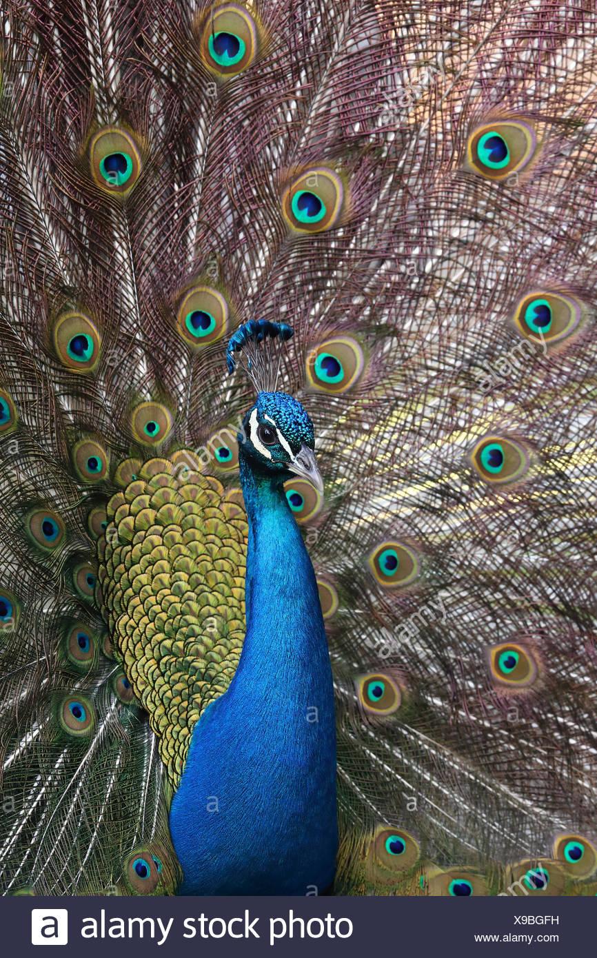 Peacock plumage, British Columbia, Canada - Stock Image