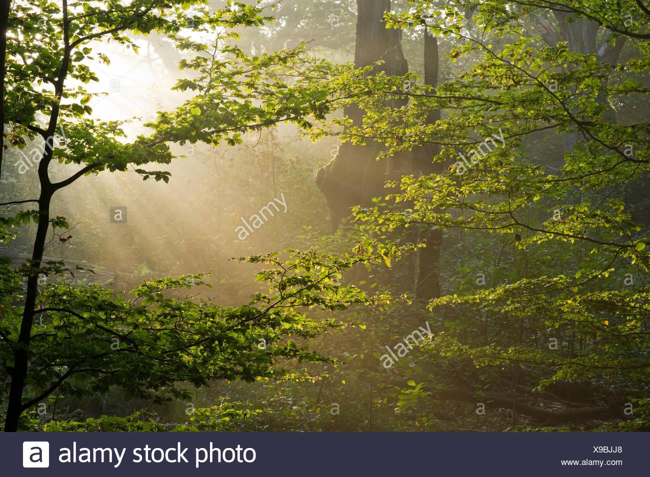Morning mist at the Urwald Sababurg primeval forest, Hofgeismar, North Hesse, Germany, Europe - Stock Image