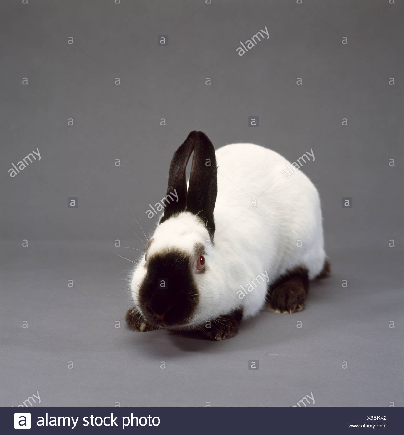 Himalayan Rabbit High Resolution Stock Photography And Images Alamy
