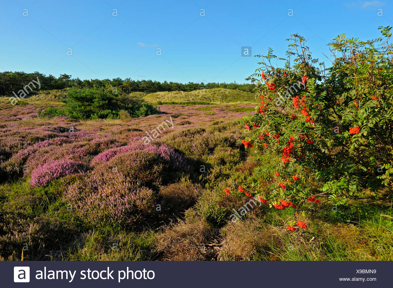 Common Heather, Ling, Heather (Calluna vulgaris), dunes with blooming heath in morning lightrowan tree, Netherlands, Texel, Duenen von Texel Nationalpark, De Bollekamer - Stock Image
