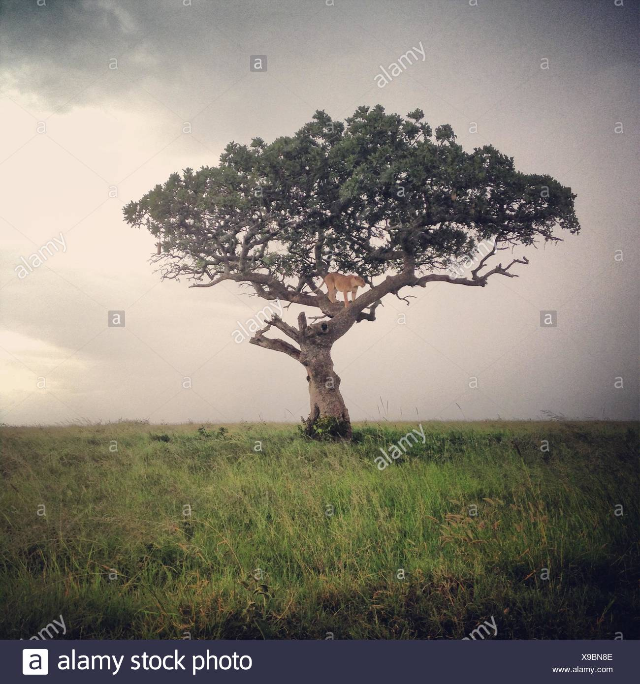 Lion Standing On A Tree - Stock Image