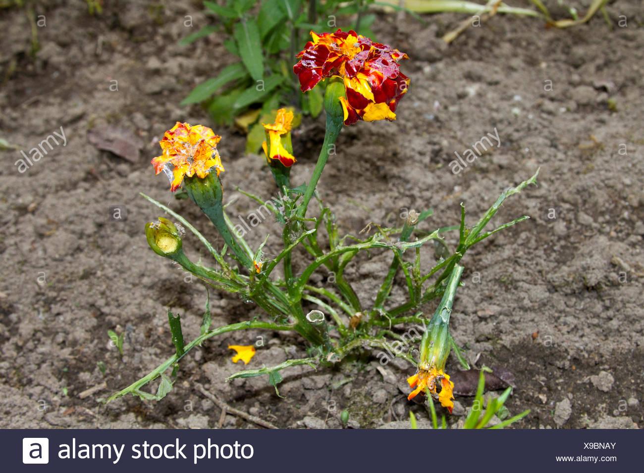 Garten Rostock marigold tagetes patula grazed by snails germany garten