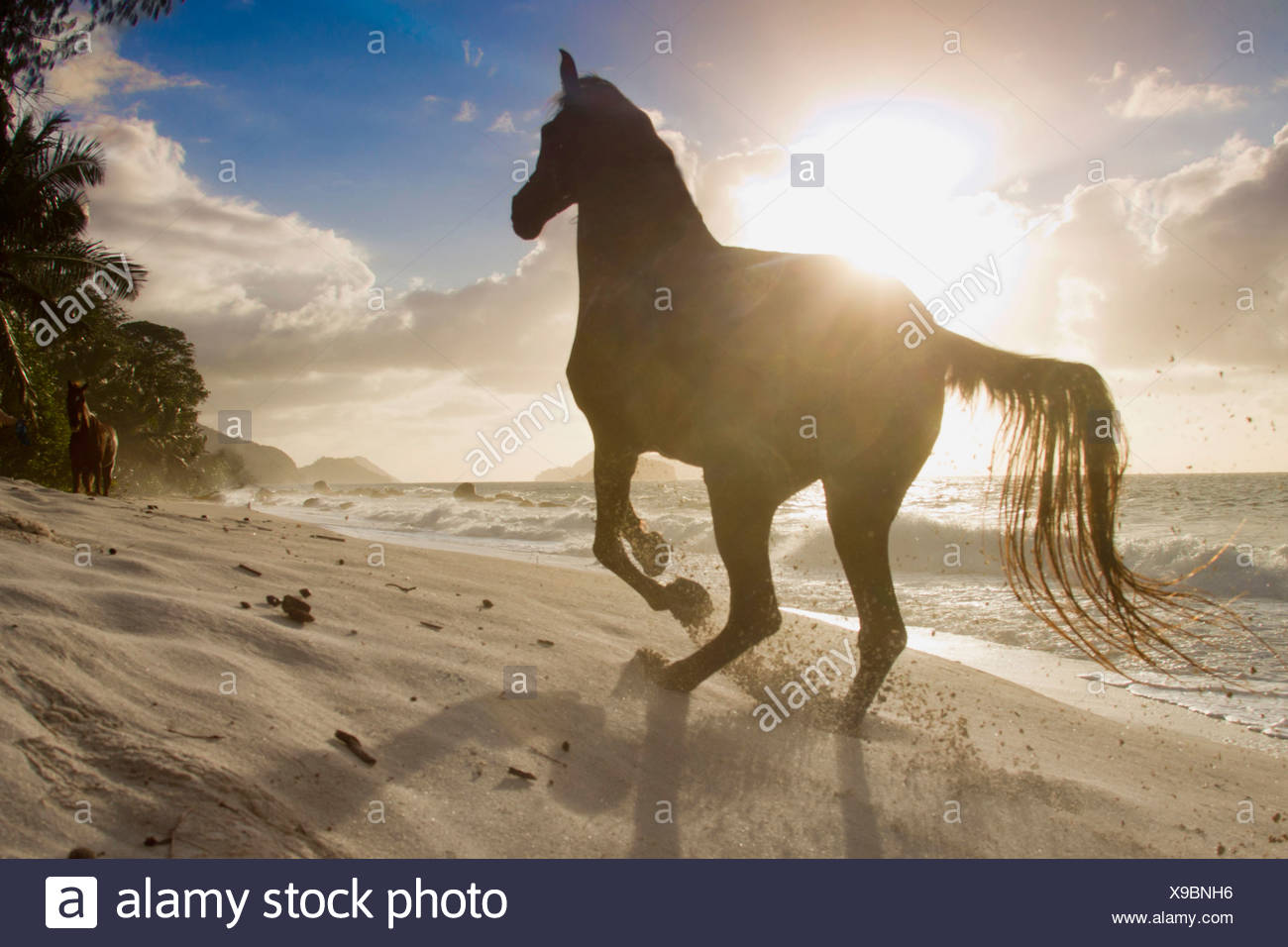 Arabian Horse gallop tropical beach Seychelles - Stock Image