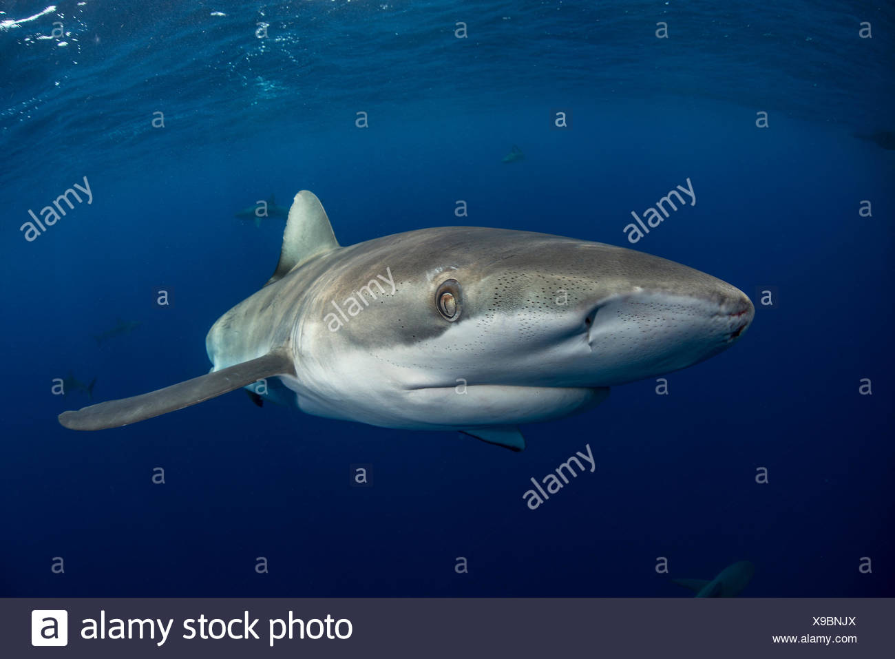 Underwater view of galapagos shark (carcharhinus galapagensis) looking at camera, Socorro, Revillagigedo, Colima, Mexico - Stock Image