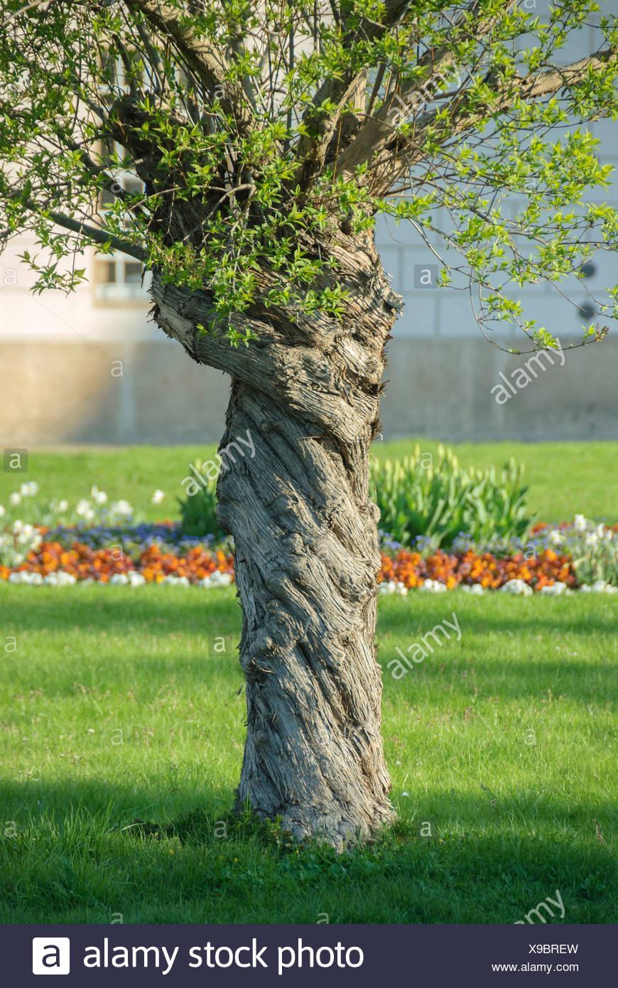 Chinese lilac (Syringa chinensis), trunk - Stock Image