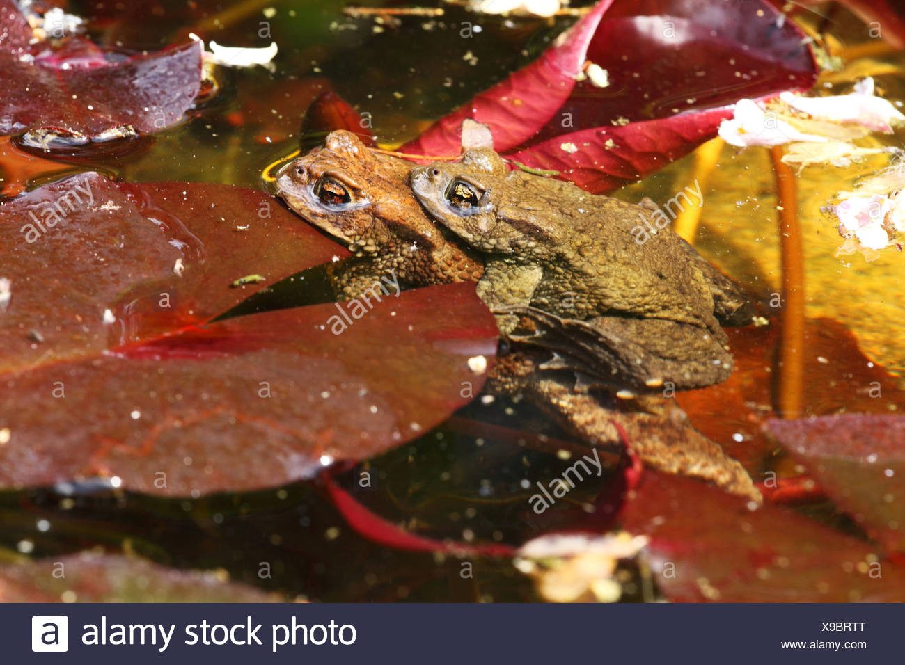 Two common toads, bufo bufo, in pond Stock Photo