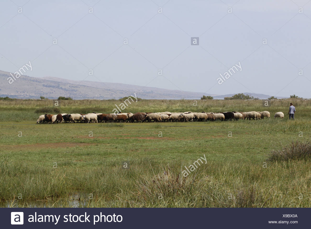 shepard with flock of sheep, lesvos Greece - Stock Image