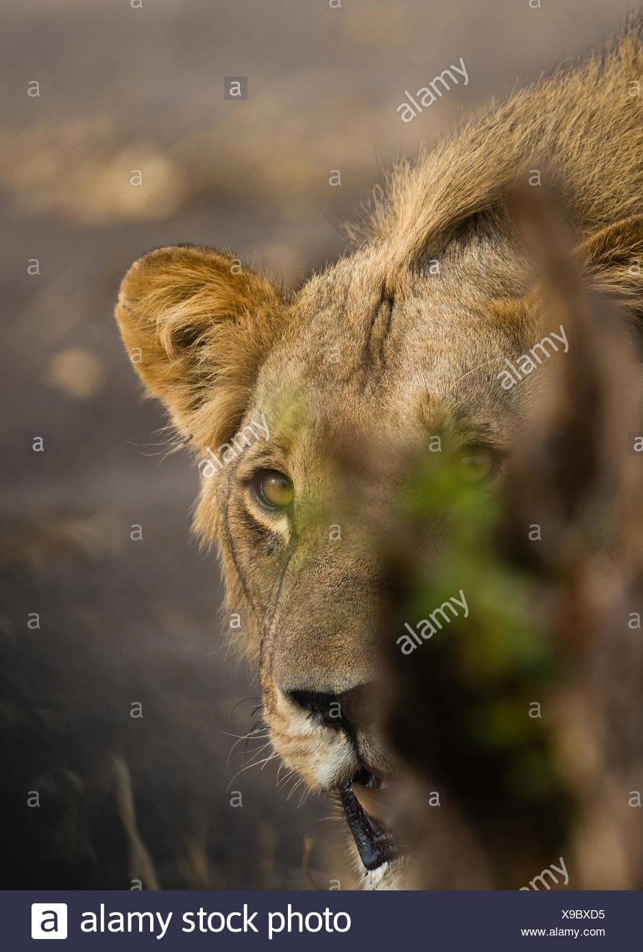 Portrait of a male lion, Panthera leo. - Stock Image