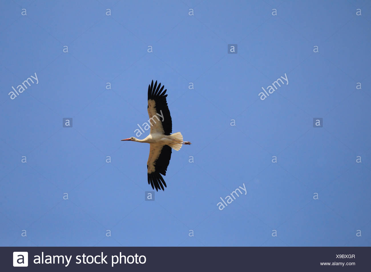 White stork, flying, Ciconia ciconia Stock Photo