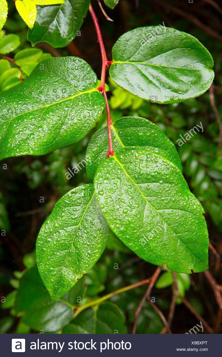 Salal (Gaultheria shallon) along North Trail, New River Area of Critical Environmental Concern-Storm Ranch, Oregon. - Stock Image