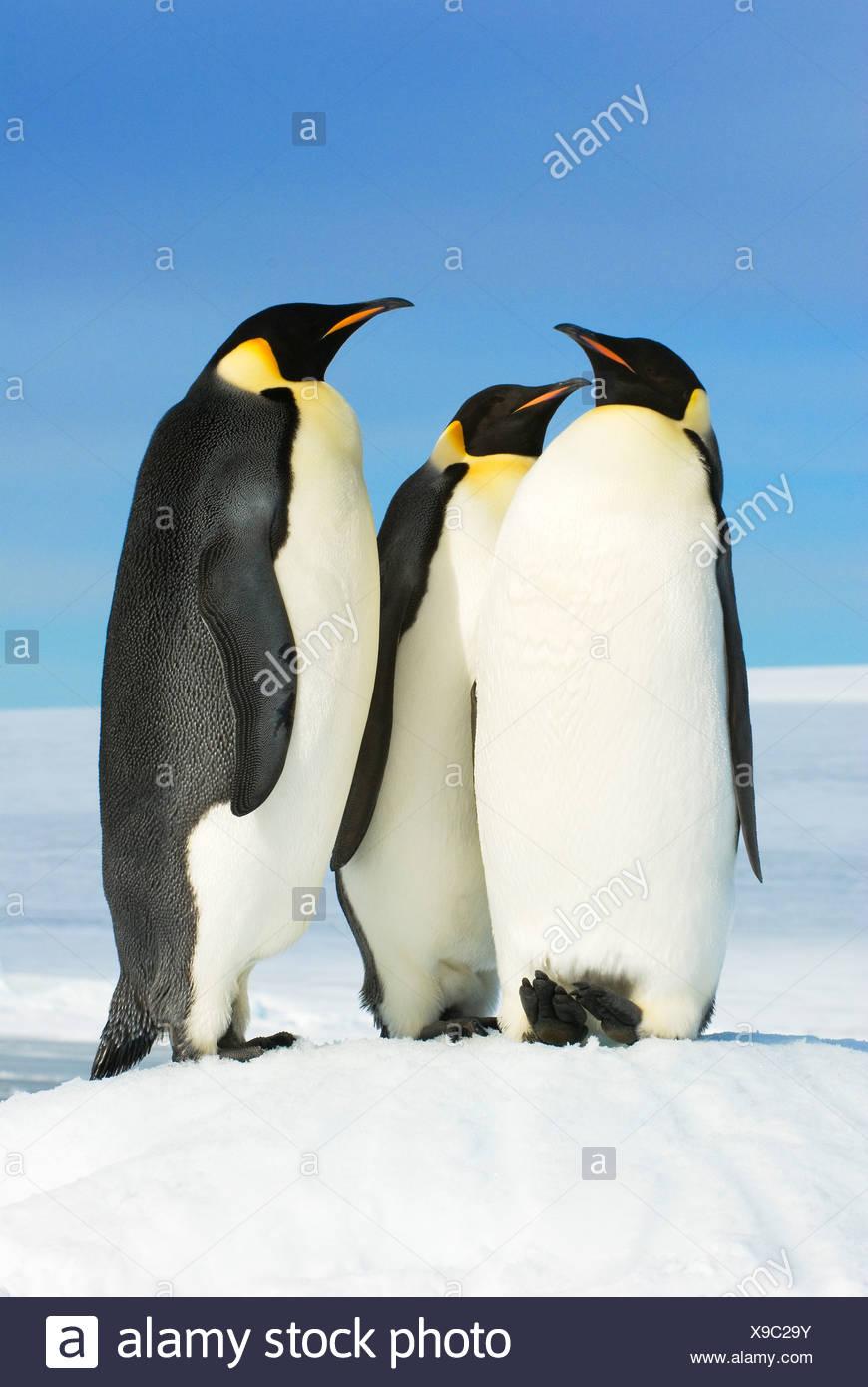 Adult emperor penguins (Aptenodytes forsteri), Snow Hill Island, Weddell Sea, Antarctica - Stock Image