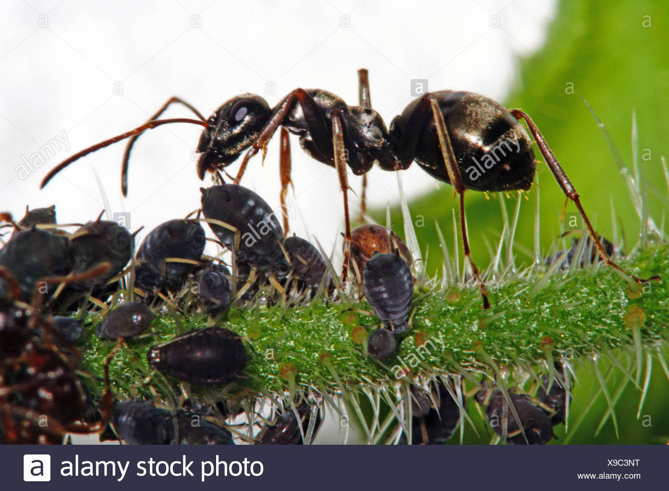 ants (Formicidae), ant melking aphids, Germany, North Rhine-Westphalia - Stock Image