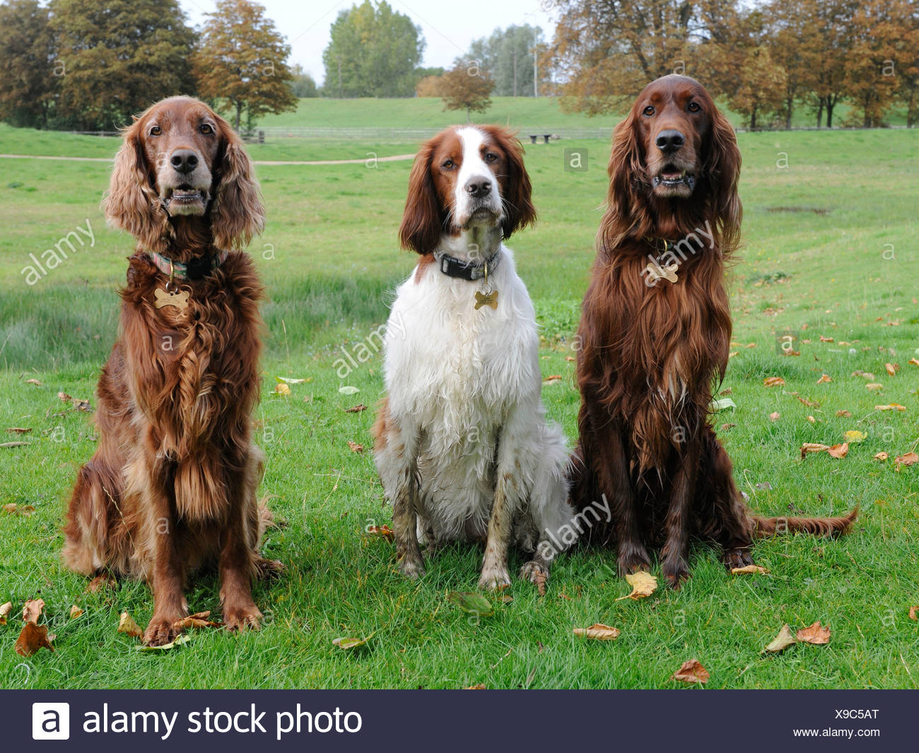 Three dogs that are pedigree setters - Stock Image