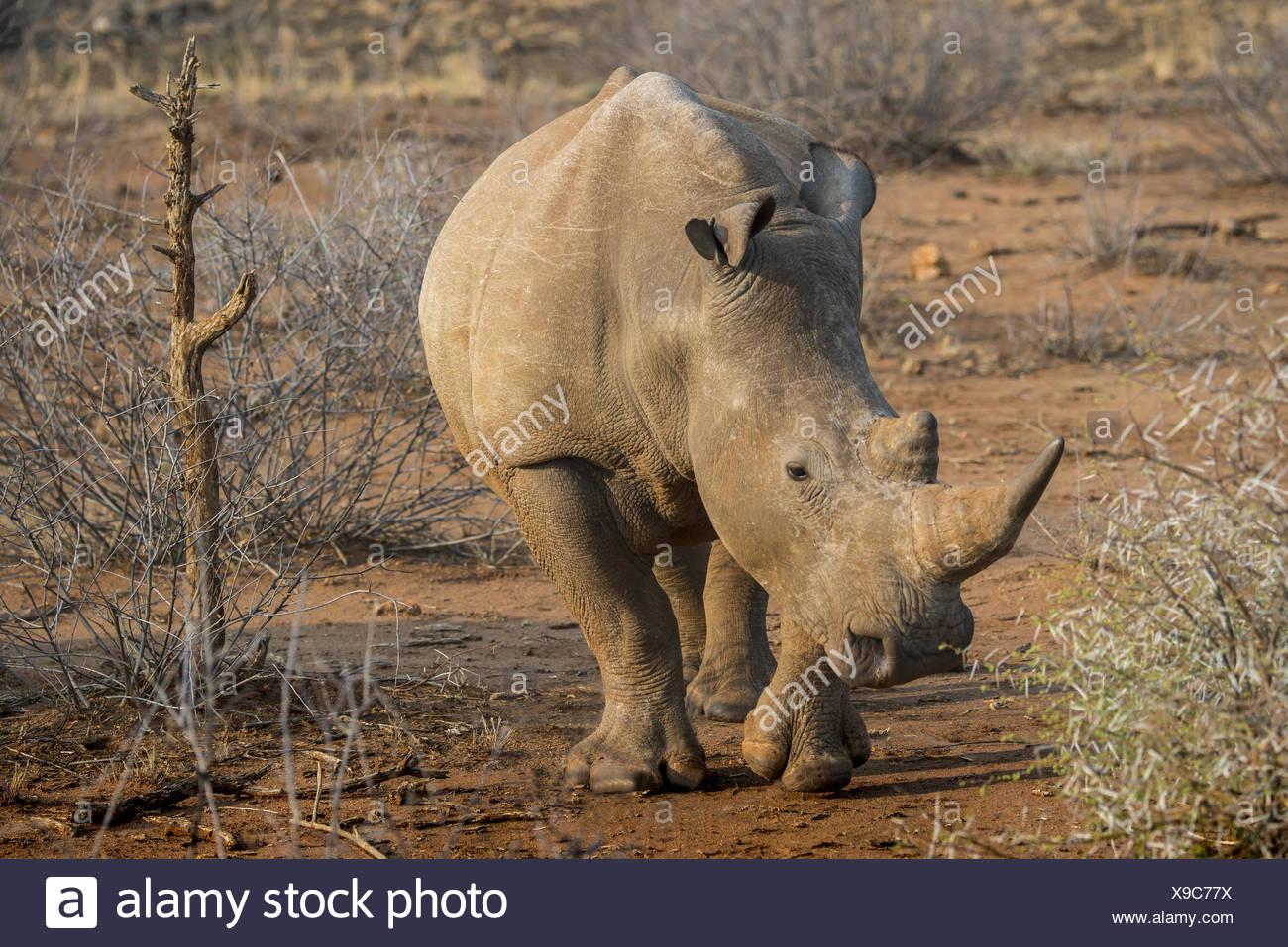 White Rhino (Ceratotherium simum) Stock Photo