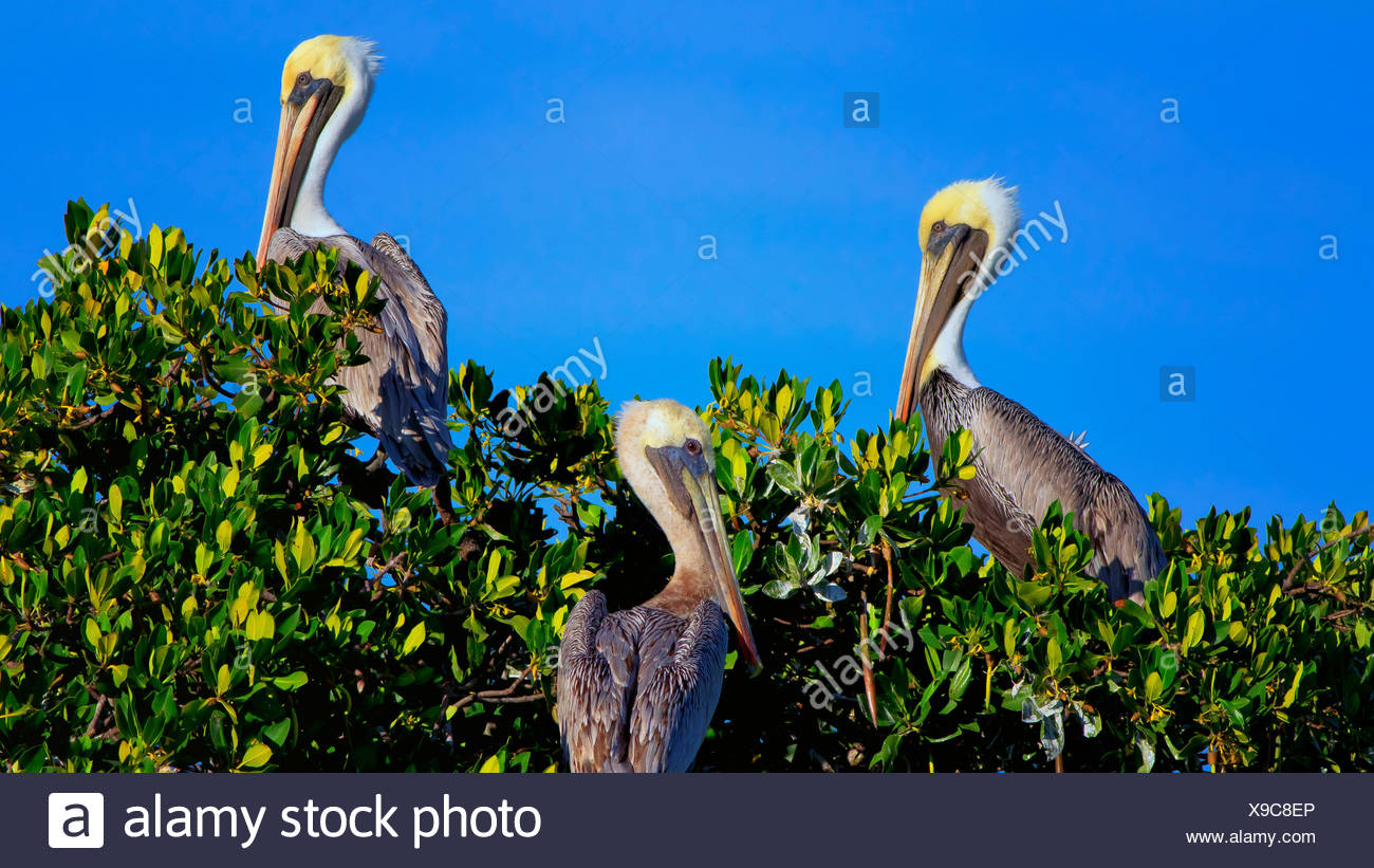 Three Brown Pelicans in Everglades National Park, Florida. - Stock Image
