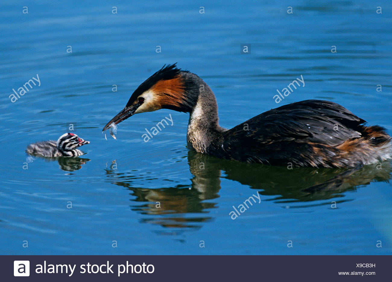 Great Crested Grebe feeding chick feather to line its stomach in order to prevent fish bones punctuating Stock Photo