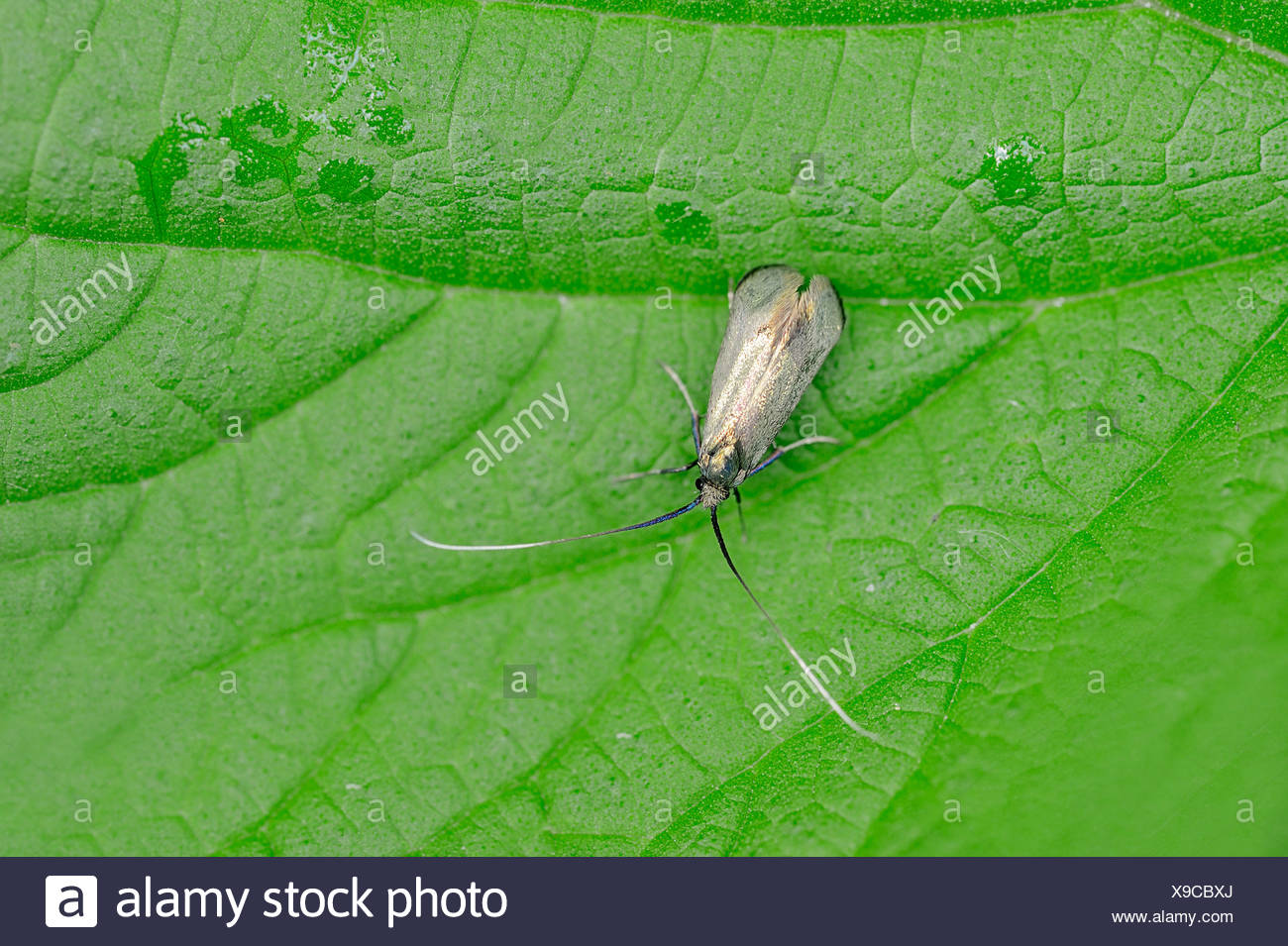 Green Longhorn (Adela reaumurella), female, North Rhine-Westphalia, Germany - Stock Image