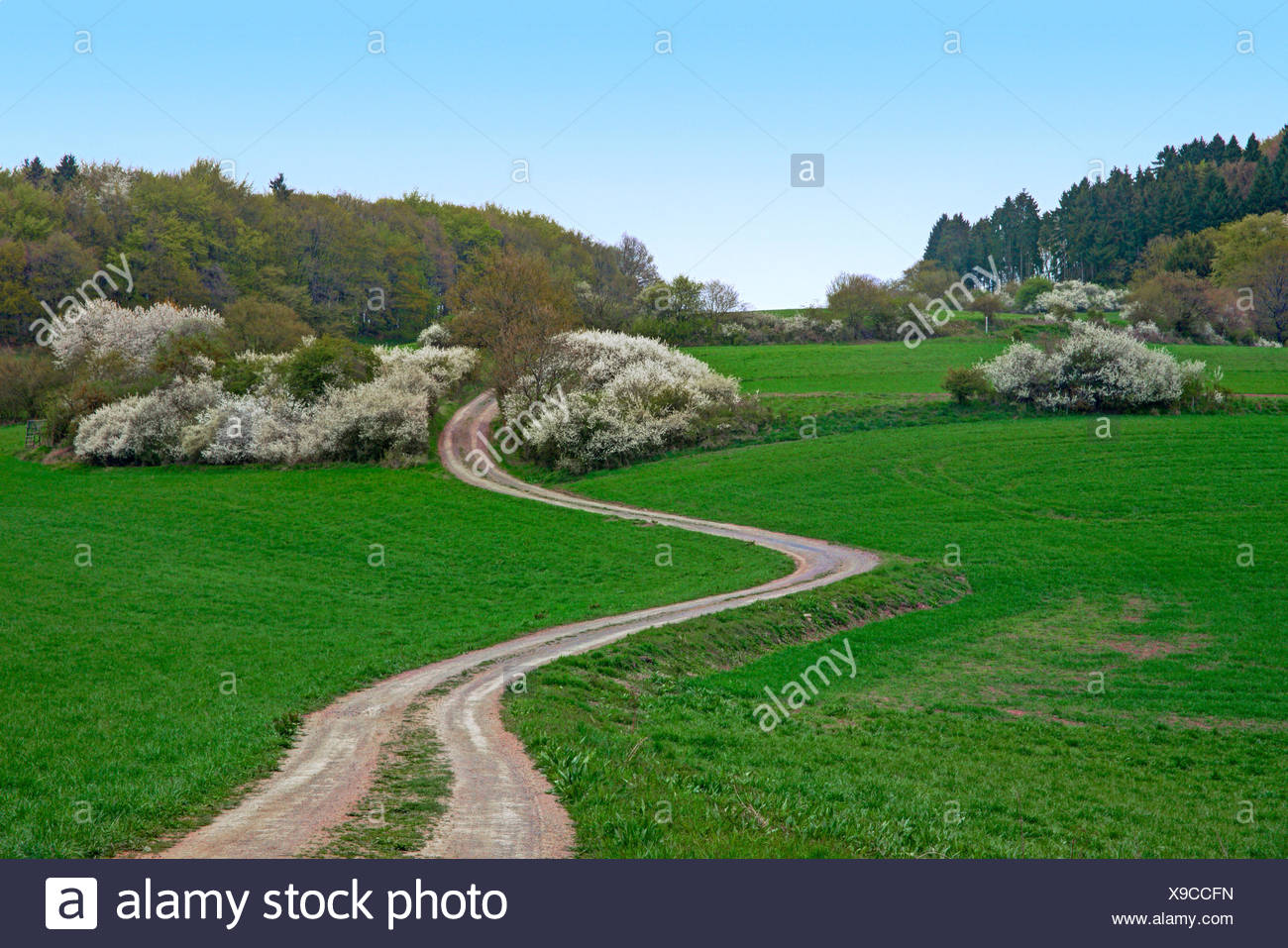 blackthorn, sloe (Prunus spinosa), blooming blackthorns in a meadow landscape with field path, Germany, Rhineland-Palatinate, Eifel - Stock Image