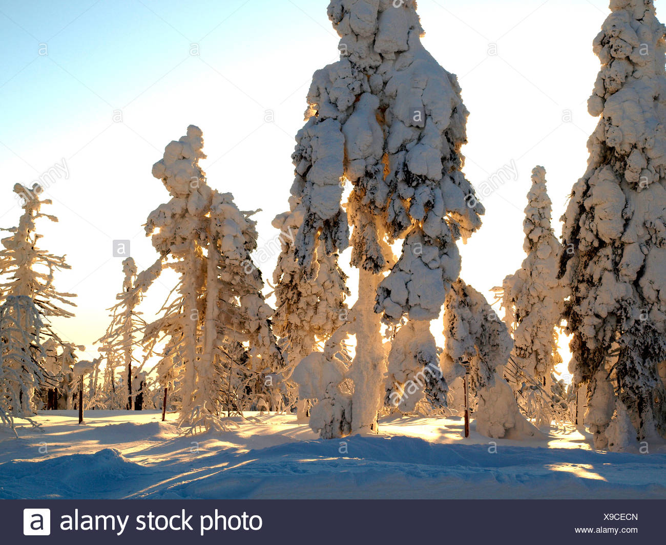 snow-covered light conifer forest in the sunshine, Czech Republic, Erz Mountains, Keilberg - Stock Image