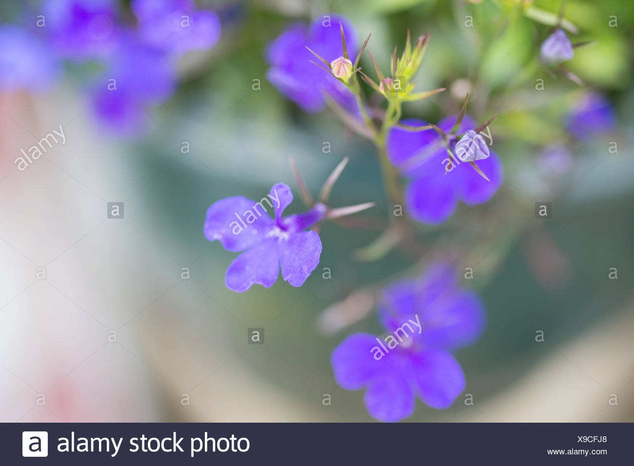 small purple flowers - Stock Image