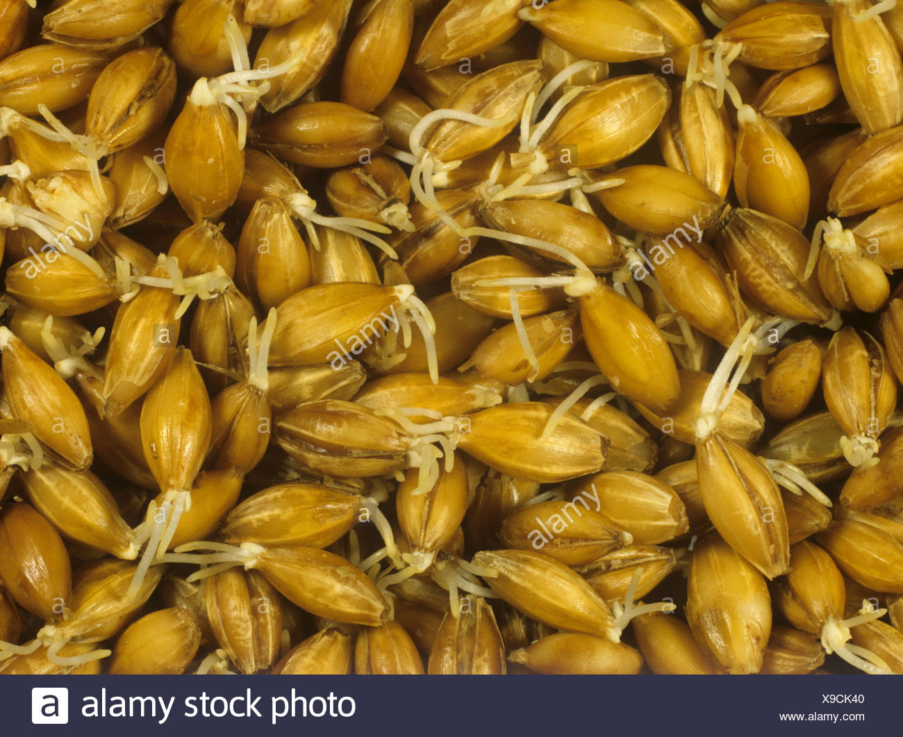 Process of malting barley seed germination stage beginning to chit - Stock Image