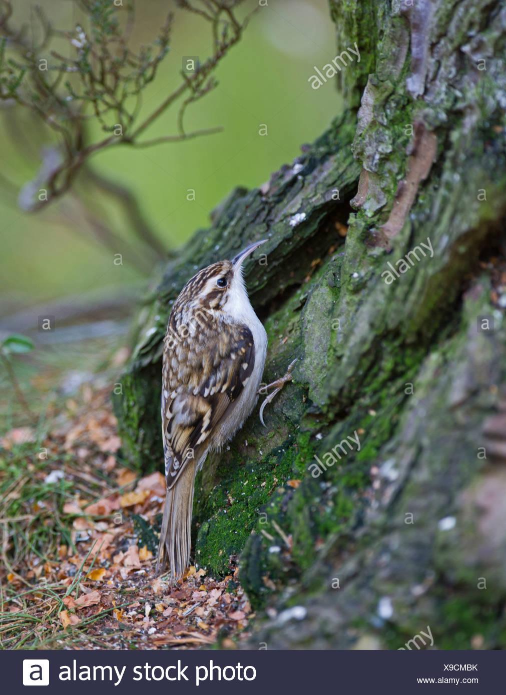 Treecreeper Certhia familiaris Scotland winter - Stock Image