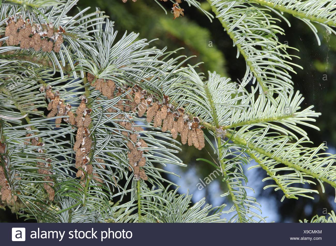 Giant Fir Abies Grandis Pinaceae Stock Photo 281177448 Alamy