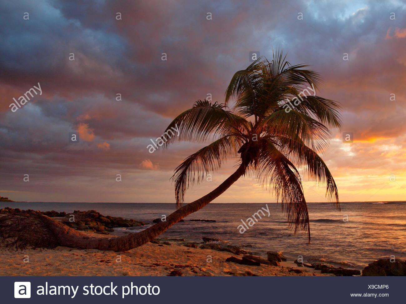 palm by the ocean in evening glow, Mexico, Yucatan, Caribbean Sea, Akumal - Stock Image