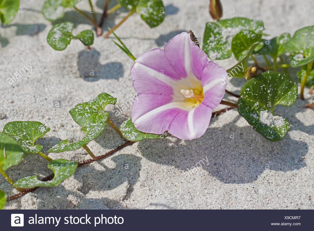 Beach morning-glory, Sea bindweed, Seashore false bindweed, Seashore morning-glory (Calystegia soldanella, Convolvulus soldanella), blooming, Germany - Stock Image
