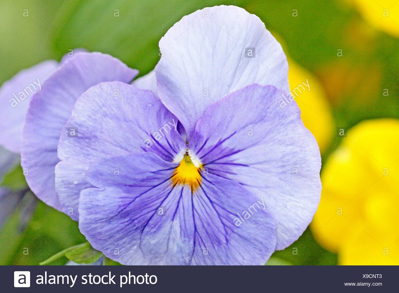 Large Round Blue Pansy Periwinkle Blue Pansy With Small Yellow