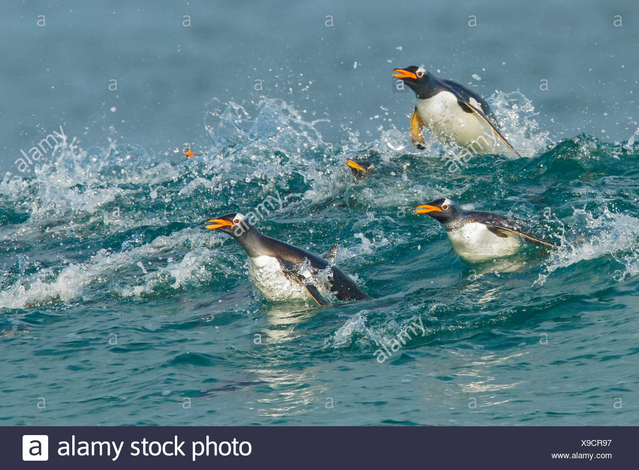 Gentoo Penguin (Pygoscelis papua) returning to land through the waves in the Falkland Islands. - Stock Image