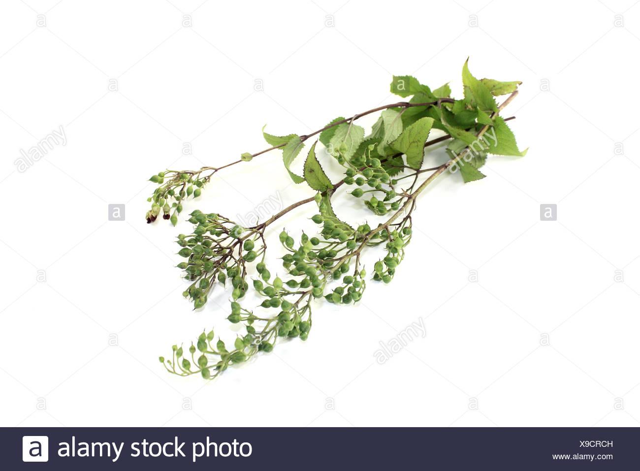 healthy Bei Xuan Shen - Stock Image