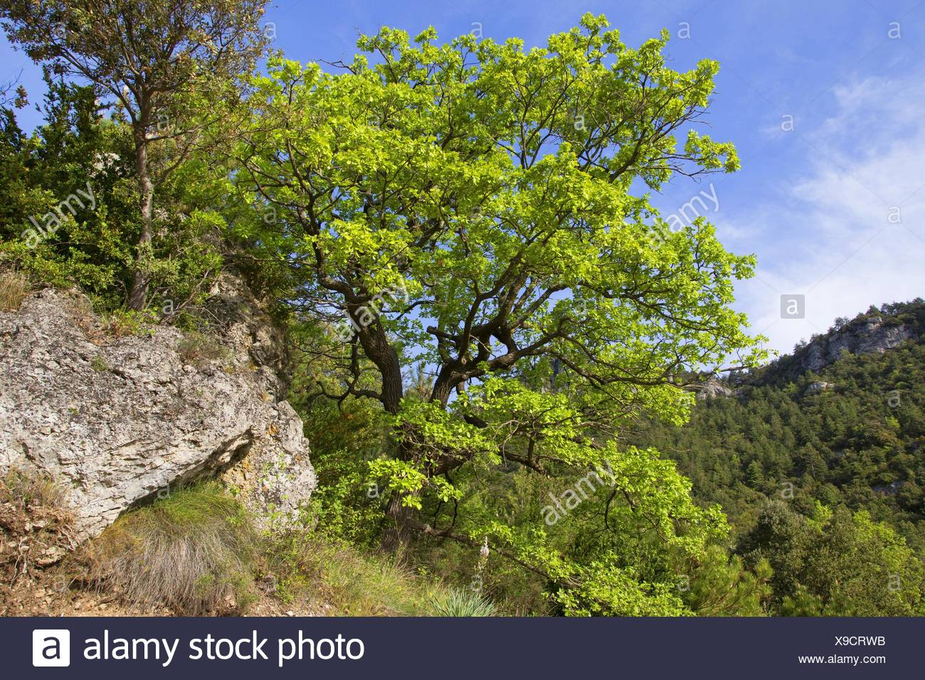 Downy Oak (Quercus pubescens) - Stock Image