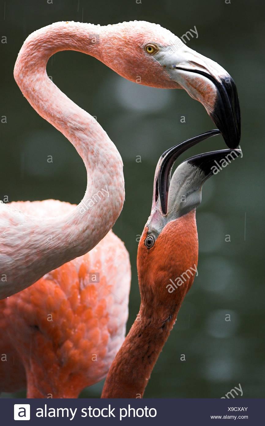 Flamingos - Stock Image