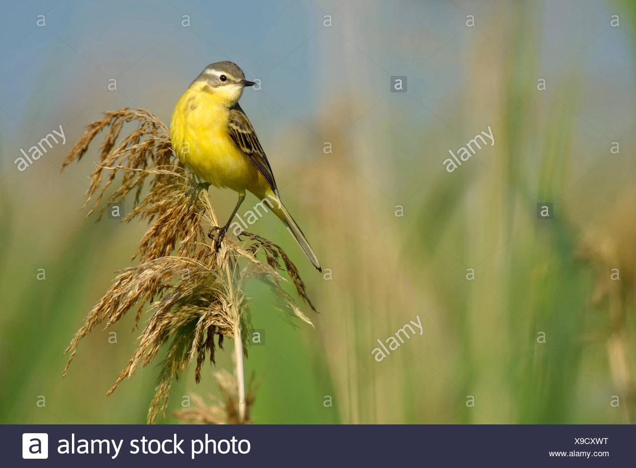 Yellow wagtail (Motacilla flava), on reed, Hungary, Hortobagy, Nagyivan - Stock Image