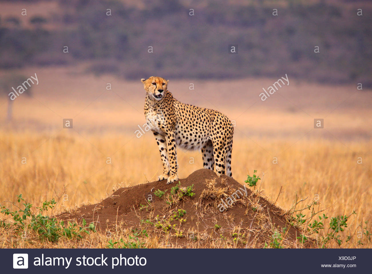 cheetah (Acinonyx jubatus), on a mound looking around, Tanzania, Serengeti National Park - Stock Image