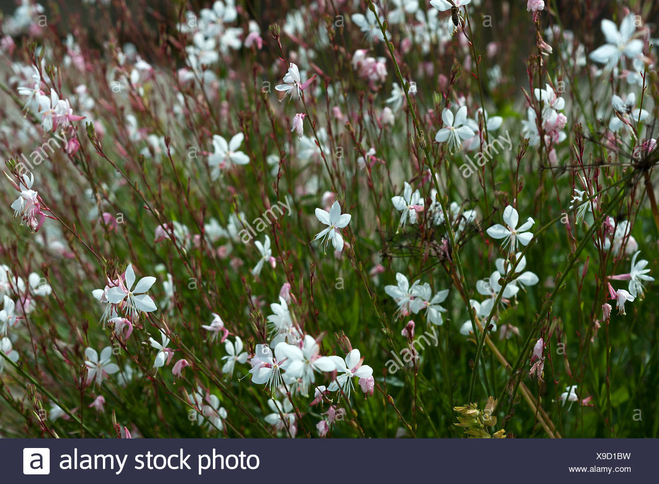 Indian feather (Gaura lindheimeri), Bayern, Germany - Stock Image