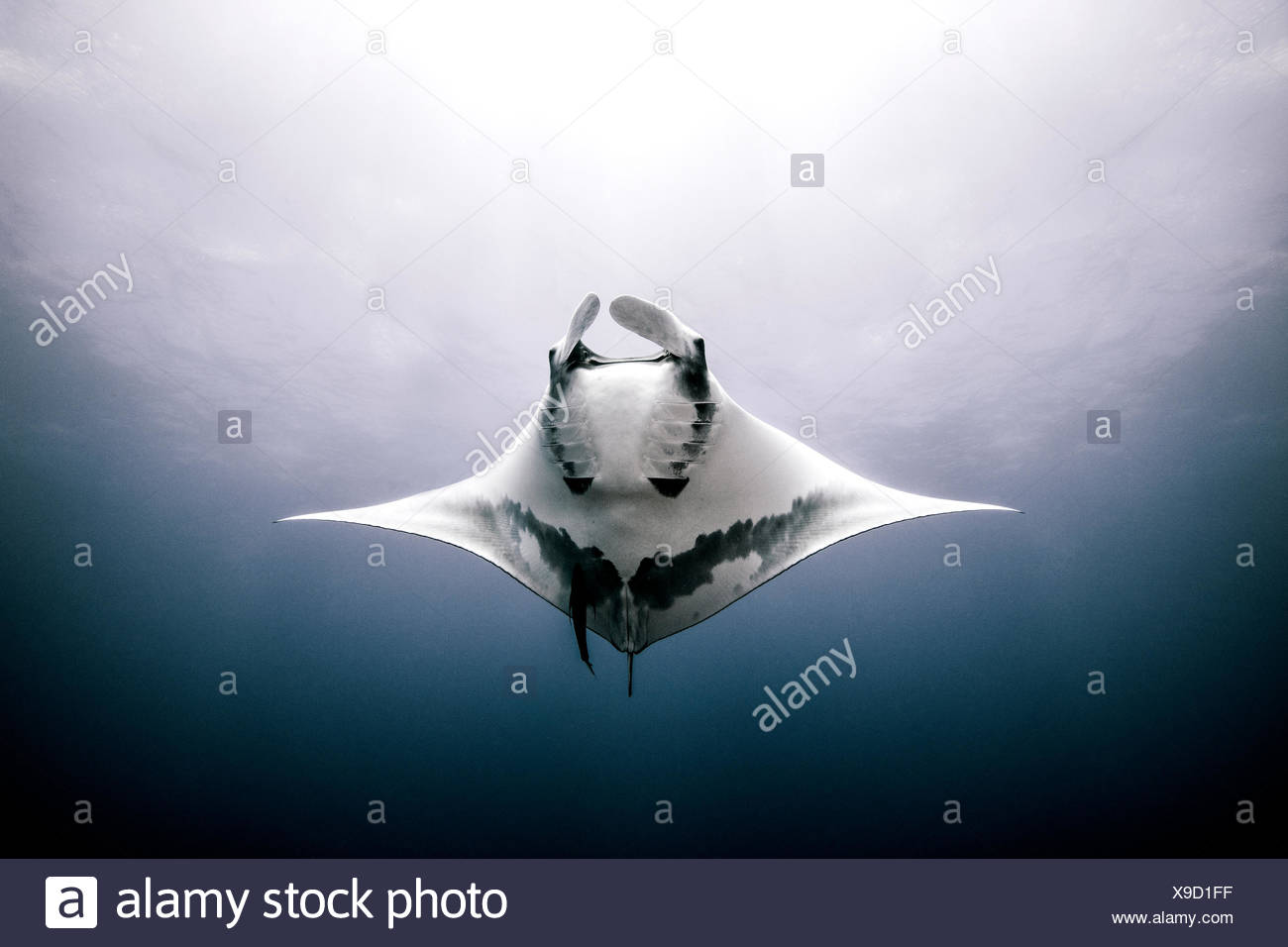 Giant Manta Ray, underwater view, Roca Partida, Mexico - Stock Image