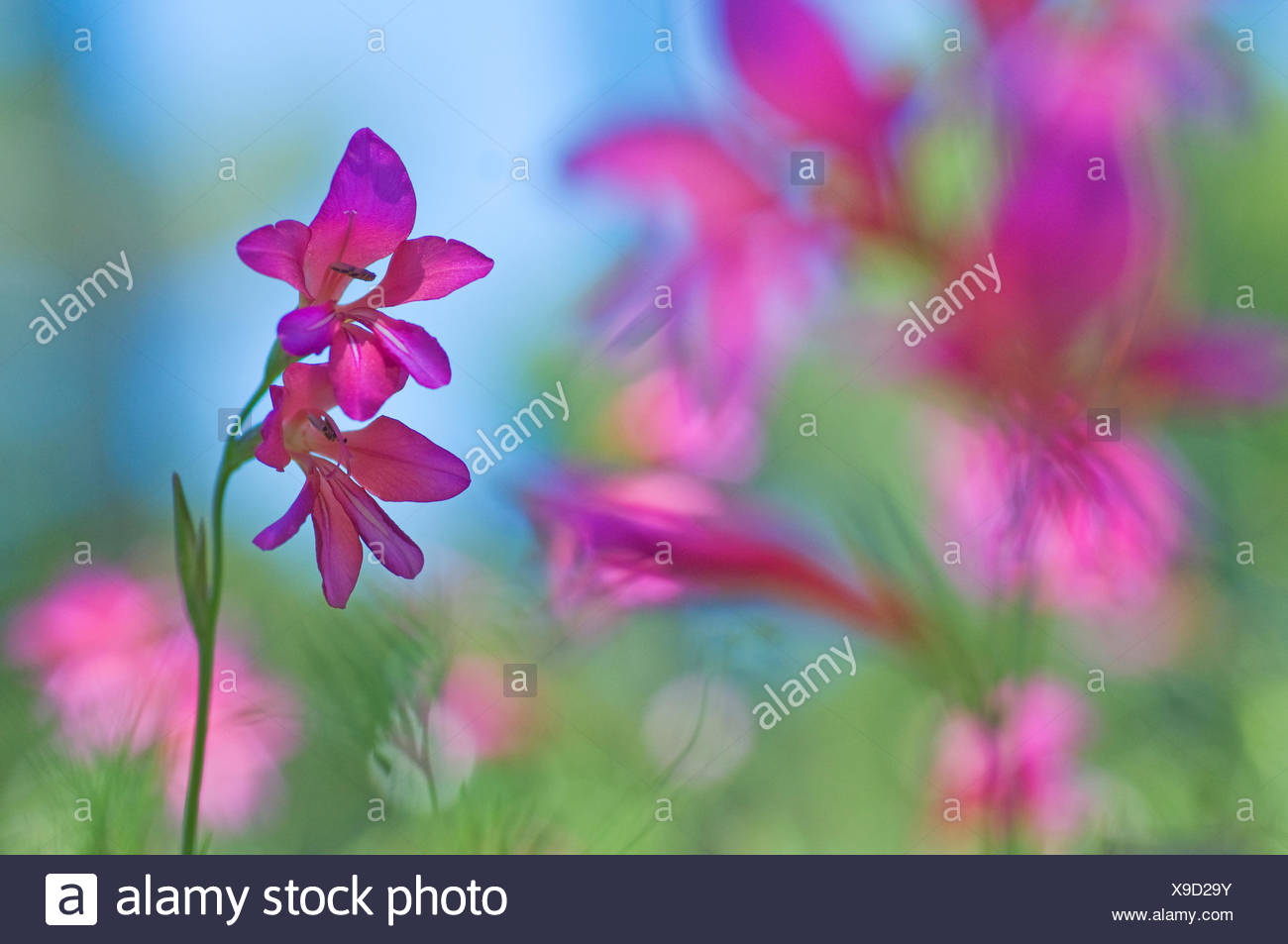 Wild gladiolus (Gladiolus illyricus) flowers, Menorca, Balearic Islands, Spain, Europe - Stock Image
