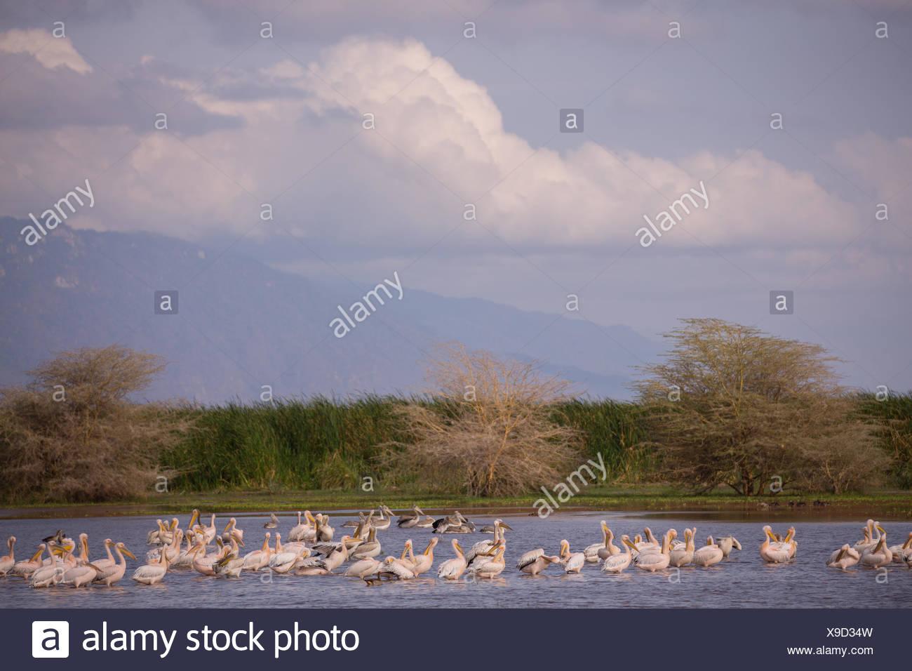 Flamingos on a lake in Lake Manyara National Park. - Stock Image