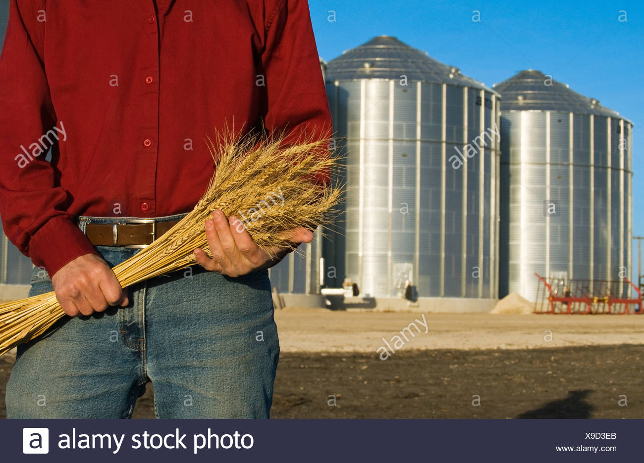 Closeup of a farmer holding stalks of mature wheat with grain storage bins in the background / near Lorette, Manitoba, Canada. Stock Photo