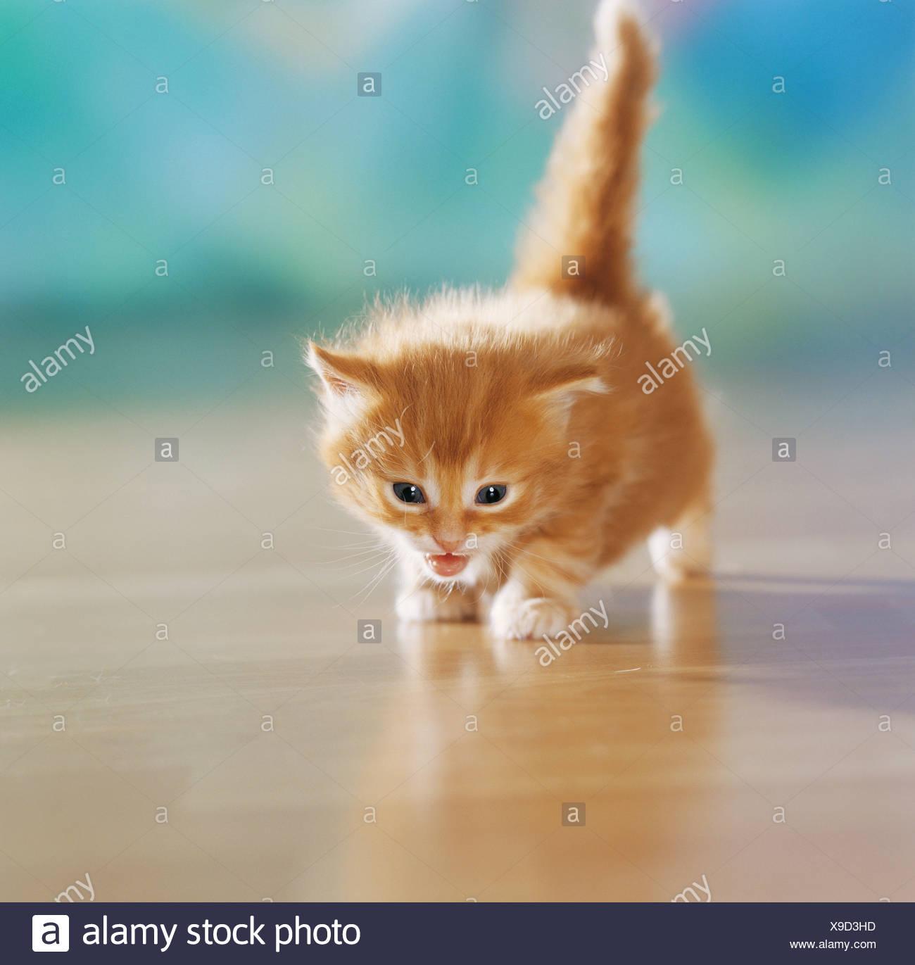 red domestic cat kitten - walking - Stock Image