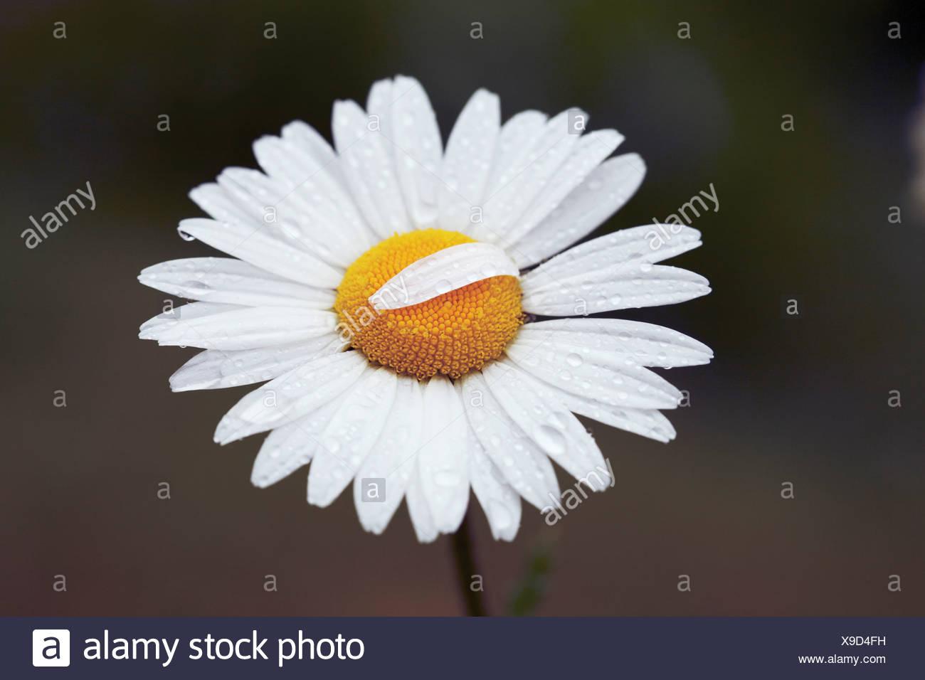 Leucanthemum vulgare, Daisy, Ox-eye daisy Stock Photo