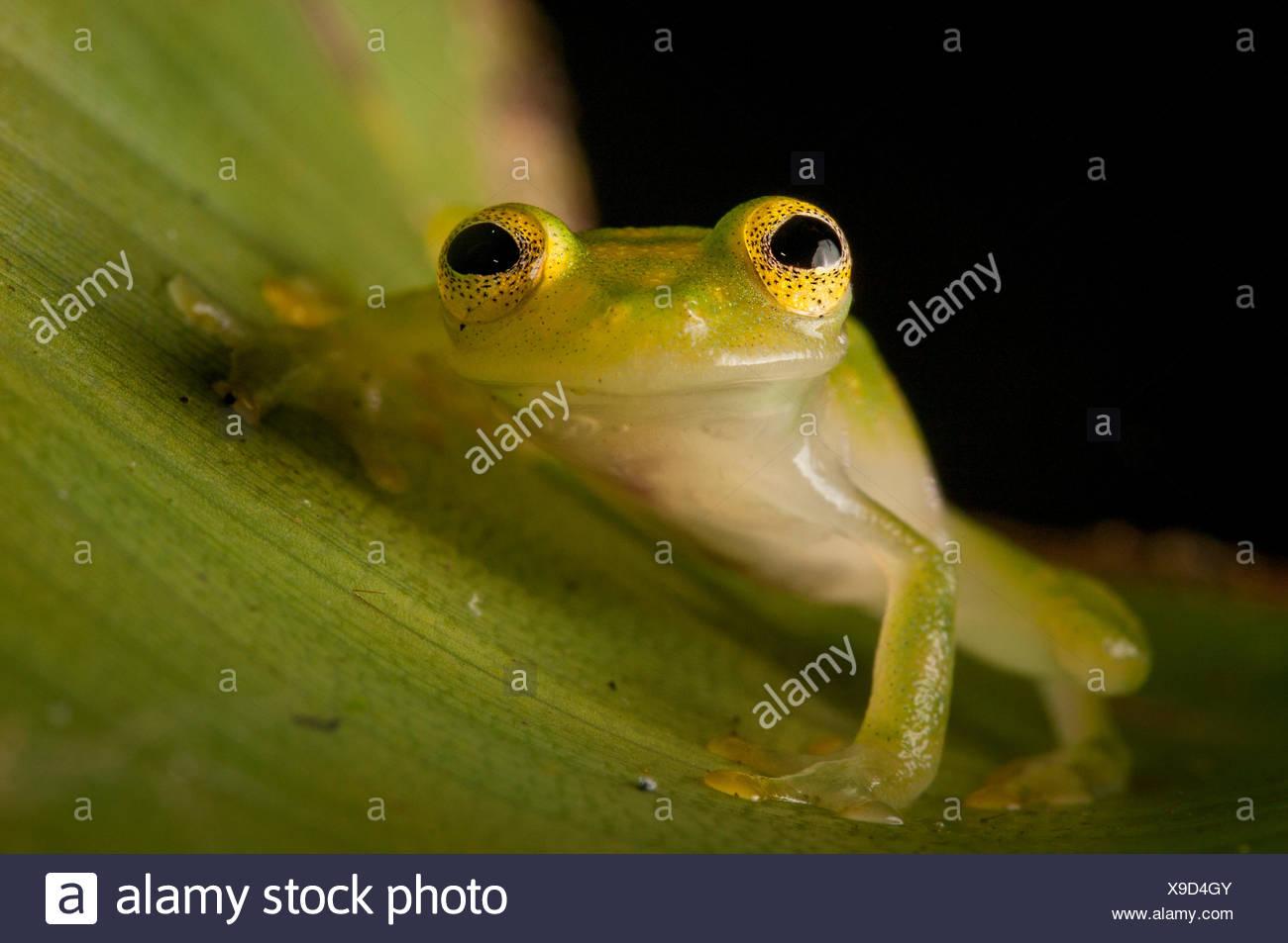 Portrait of a cricket glass frog, Hyalinobatrachium colymbiphyllum. - Stock Image
