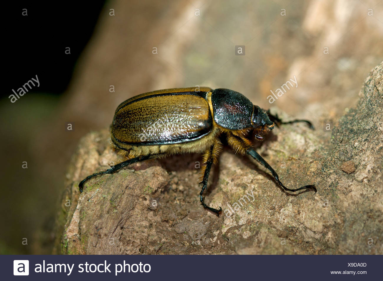 scarab beetle scarabaeidae tandayapa region andean cloud forest