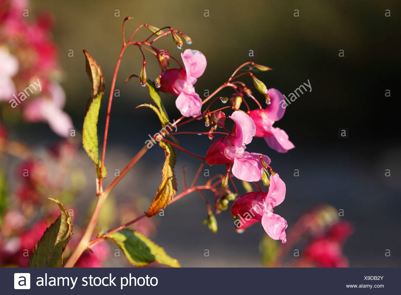 Flowers and seed pod of Himalayan balsam, Indian balsam (Impatiens glandulifera), neophyte Stock Photo