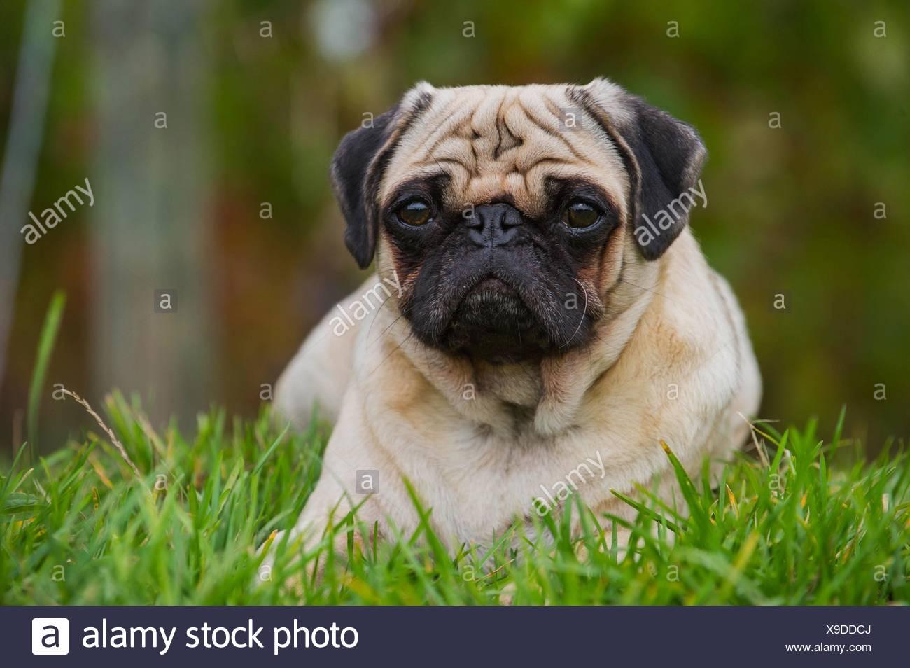 lying pug - Stock Image