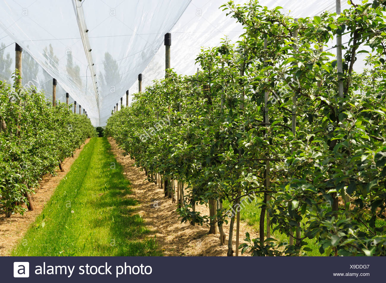 Pear orchard, fruit growing in Hagnau on Lake Constance, Baden-Wuerttemberg, Germany, Europe - Stock Image